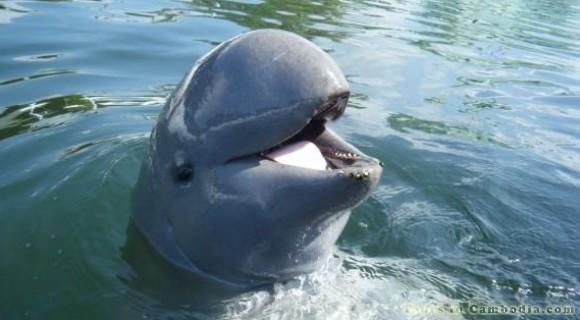 Mekong Dolphin in Kratie